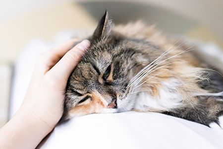 DVM360 feline flu
